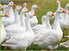 羽毛はお肉の副産物